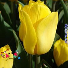 Тюльпан Strong Gold (Стронг Голд)