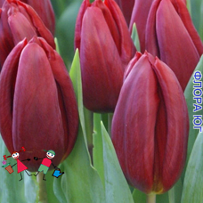 Тюльпан Strong Love (Стронг Лав), 3 шт. Голландия