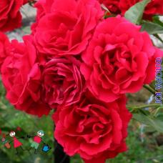 """Роза """"Симпатия"""" (Sympathie)"""
