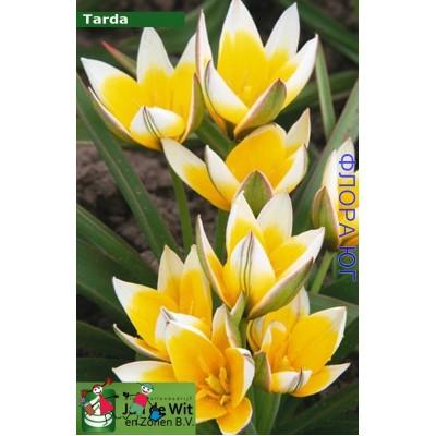 Тюльпан Tarda (Тарда )