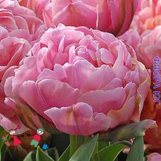 Тюльпан Бритт