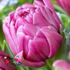 Тюльпан Double Princess (Дабл Принцесс)