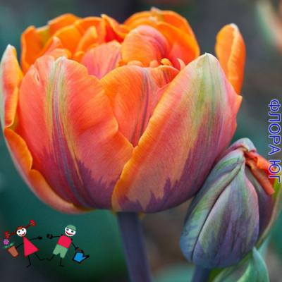 Тюльпан Orange Princess( Оранж Принцесс )(5шт) Купить в интернет магазине Флора –Юг