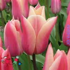Тюльпан Санне