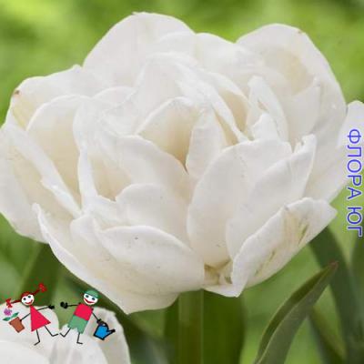 Тюльпан White Heart (Уайт Харт )