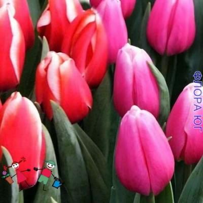 Клумба тюльпанов Lech Walesa ( Лех Валенса) и Milkshake (Милкшейк)