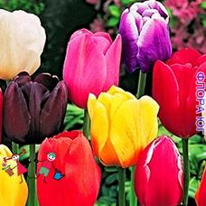 Луковицы тюльпанов. Смесь простых сортов.