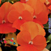 Viola Orange (Виола Оранж)
