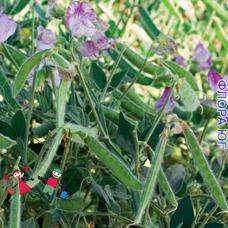 Vicia sativa (Вика посевная, яровая), горошек посевной