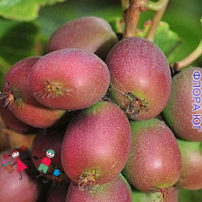 Actinidia Purple (Актинидия Пурпурная)
