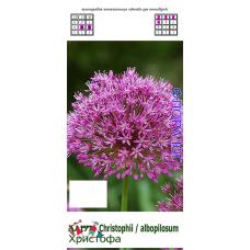 Аллиум. Лук декоративный Allium cristophii (Аллиум Христофа), 5 шт. Голландия