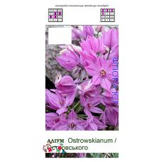 Аллиум. Лук декоративный Allium ostrowskianum ( Аллиум Островского ), 5 шт. Голландия