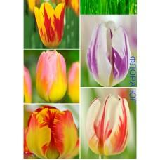 Клумба тюльпанов Восход на Вероне