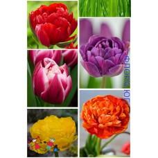 Клумба тюльпанов Вио Реджио