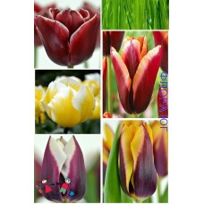 Клумба тюльпанов Закат на Мадейре
