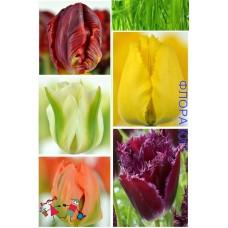 Клумба тюльпанов Марди Гра