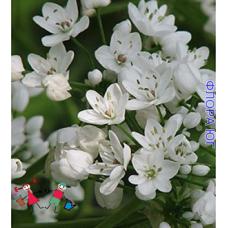 Аллиум. Лук декоративный Allium  Neapolitanum (Аллиум Неополитанум), 5 шт. Голландия