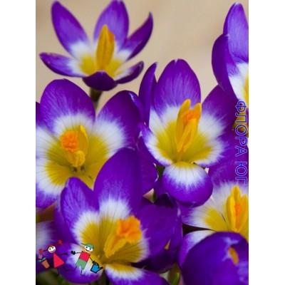 Крокус ботанический Сайбери Триколор (Sieberi Tricolor)