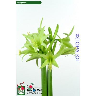 Амарилис Fgreen /Evergreen ( Евэргрин )