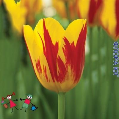 Тюльпан Washington (Вашингтон)