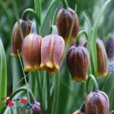 Fritillaria Uva-Vulpis ( Фритиллярия / Рябчик Ува Вульпис), Голландия