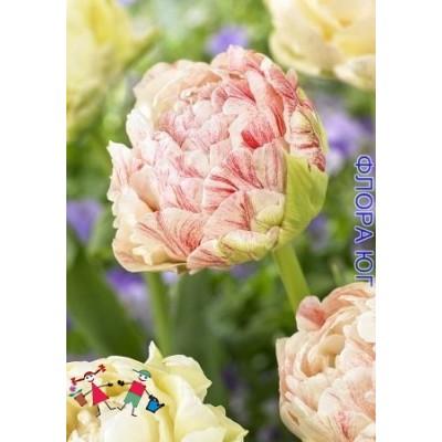 Тюльпан Piste (Писте)