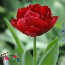 Тюльпан Presto (Престо)