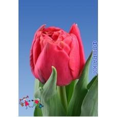 Тюльпан Аdore (Адоре)