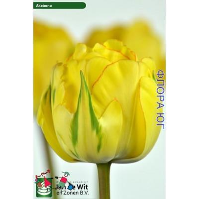 Тюльпан Akebono (Акебоно) Купить в интернет магазине Флора –Юг