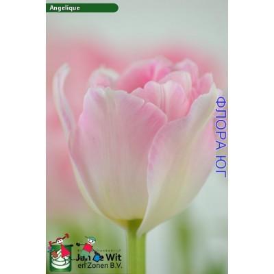 Тюльпан Angelique (Анжелика) Купить в интернет магазине Флора –Юг