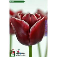 Тюльпан Armani (Армани)