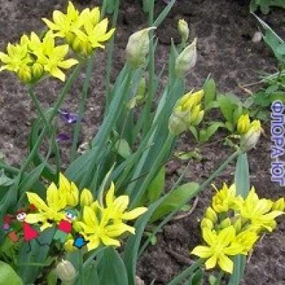 Лук декоративный Allium Moly  (Аллиум Моли)