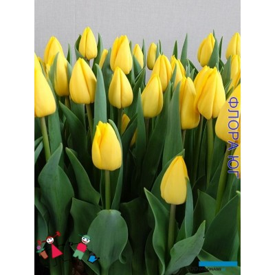 Тюльпан Yellow Master (Уелоу Мастер)