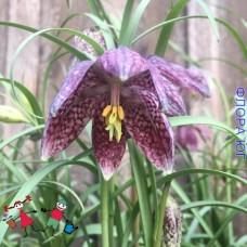 Fritillaria Meleagris mix (Фритиллярия /Рябчик  шахматная), Голландия