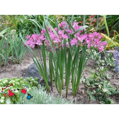 Декоративный лук Allium Oreophilum (Аллиум Ореофиллум). Голландия