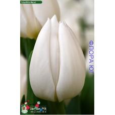 Тюльпан White Marvel (Уайт Марвел)