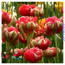 Тюльпан Pamplona (Памплона)