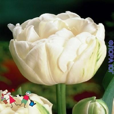 Тюльпан Avant Garde (Авант Гарде)