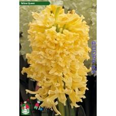 ГиацинтЙеллоу Куин/ Квин (Yellow Queen), 1 шт. Голландия