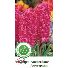 Гиацинт Амстердам (Amsterdam), 1 шт. Голландия