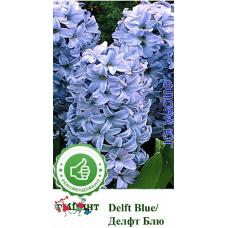 Гиацинт Delft Blue (Делфт Блю). Голландия