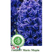 Гиацинт Marie (Мария). Украина