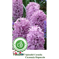 Гиацинт Сплендид Корнелия (Splendid Cornelia), 1 шт. Голландия