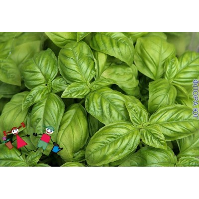 Базилик зеленый, весовой