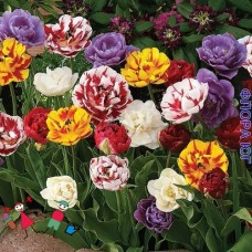 Клумба тюльпанов Махровые (пионовидные)