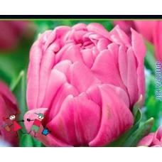 Тюльпан Dezirel (Дизирель) (3 шт)