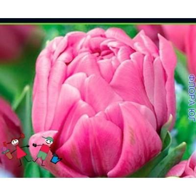 Тюльпан Dezirel (Дизирель)
