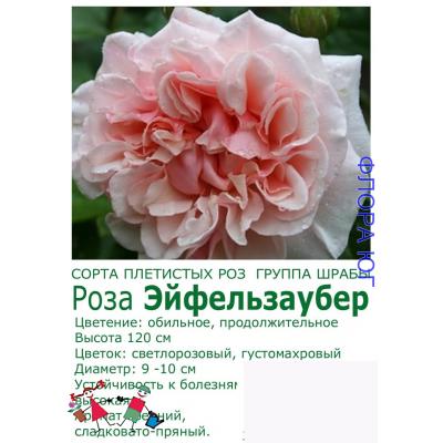 Роза Эйфельзаубер