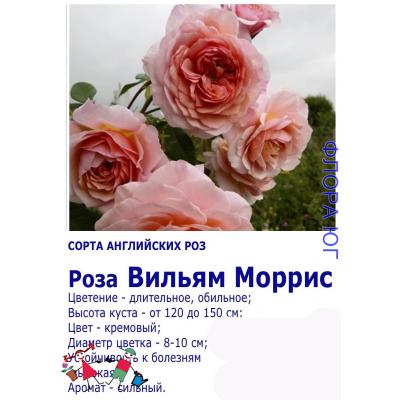 Роза Вильям Моррис