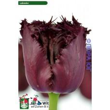 Тюльпан Лабрадор (300151)
